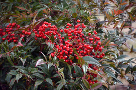 Bright Red Heavenly Bamboo Nandina Domestica Berries.