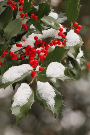 red berries: American Holly Ilex opaca with thorny green leaves and red berries in winter. Stock Photo