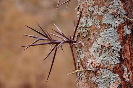 langosta: Grandes espinas ramificadas en el árbol Gleditsia triacanthos langosta de miel también conocida como la langosta espinosa. Foto de archivo