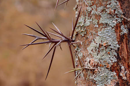 invasive species: Large branched thorns on the Honey Locust tree Gleditsia triacanthos also known as Thorny Locust.