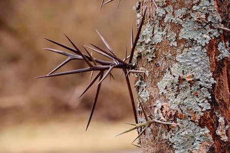 langosta: Grandes espinas ramificadas en el �rbol Gleditsia triacanthos langosta de miel tambi�n conocida como la langosta espinosa. Foto de archivo