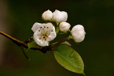 pyrus: Pear Blossoms (Pyrus communis) in the spring. Stock Photo