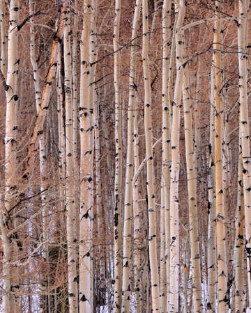 aspen tree: Aspen tree group during winter featuring parallel trunks.