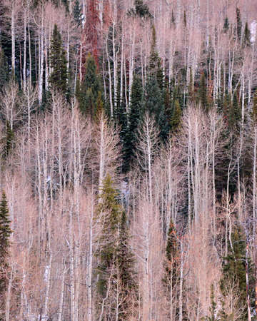 aspen grove: Colorado mountain in winter featuring alternating aspen and pine trees.