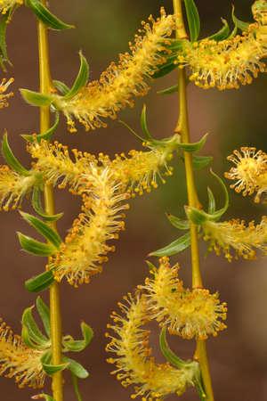 salix: Weeping willow (Salix babylonica) catkins in spring season.