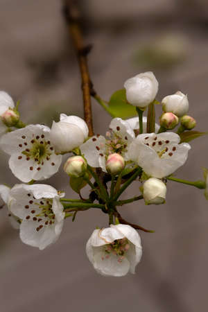 communis: Pear Blossoms (Pyrus communis) in the spring. Stock Photo