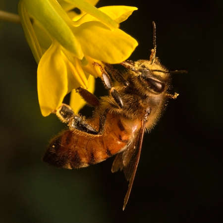 distributing: Close-up photo of a Western Honey Bee (Apis mellifera) gathering nectar and pollen and spreading pollen on yellow blossoms of Kale (Brassica oleracea). Stock Photo