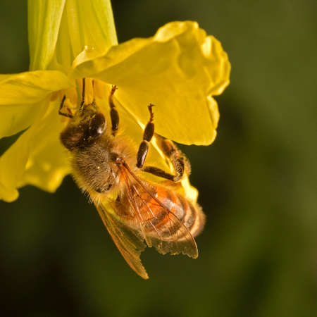 Close-up photo of a Western Honey Bee (Apis mellifera) gathering nectar and pollen and spreading pollen on yellow blossoms of Kale (Brassica oleracea). Imagens