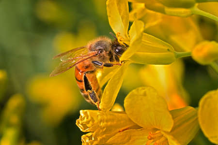 mellifera: Close-up photo of a Western Honey Bee (Apis mellifera) gathering nectar and pollen and spreading pollen on yellow blossoms of Kale (Brassica oleracea). Stock Photo