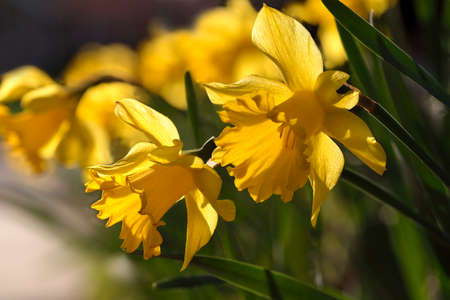 jonquil: Yellow daffodils also known as narcissus, jonquil and daffadowndilly. Stock Photo