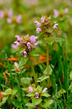 broadleaf: Dead nettle (Lamium purpureum), a common broadleaf lawn weed in the spring. Stock Photo