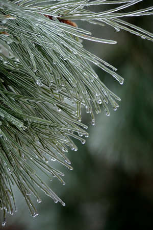 Pine needles covered with ice due to freezing rain during the winter.
