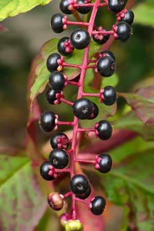 American Pokeweed, Phytolacca americana with purple berries and green leaves