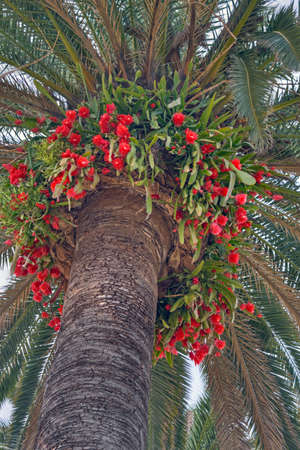 Mediterranean palm tree with Epiphyllum or orchid cactus near the Italian coast