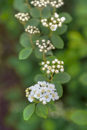 Spring blooming white flowers of spirea. Stock Photo
