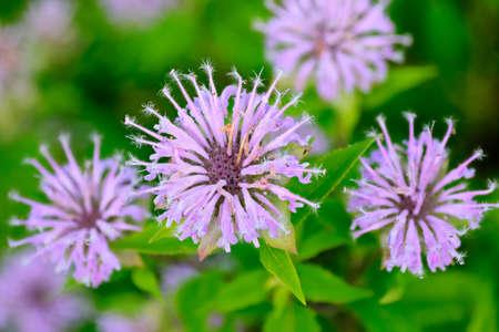 Purple bee balm Bergamot (Monarda fistulosa) flowers. Stok Fotoğraf