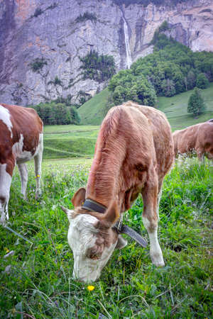 Lauterbrunnen, Switzerland - 05262017: A local cow grazing grass in Lauterbrunnen, Switzerland with a waterfall in the background.