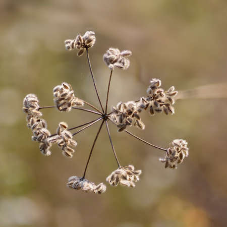 Bristly seed pods of Queen Annes Lace (Daucus carota) with hooked projections that stick the seed to fur or cloth and help disperse the plant.