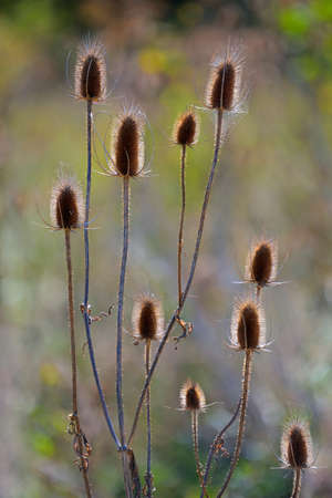 Autumn wildflower, Wild teasel (Dipsacus Fullonum) with blurred natural background. A cultivated variety (Fullers teasel) was used historically in the manufacture of cloth, particularly wool.