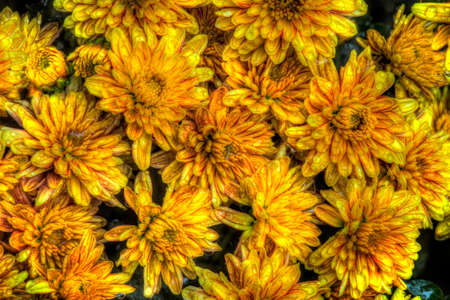 Chrysanthemum blossoms in the fall.
