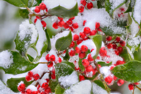 American Holly (Ilex opaca) with thorny green leaves and red berries in winter. Stock Photo