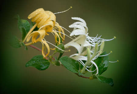 Japanese honeysuckle (Lonicera japonica) a vining plant common in many temperate climates.  It is a woody climber with green oval leaves and white flowers fading to yellow.  The bloom is very fragrant. Stock Photo