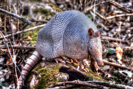 Nine-banded Armadillo (Dasypus novemcinctus) searching for food in the forest. Stock Photo