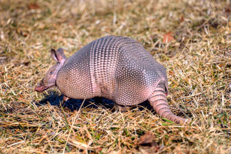 Nine-banded Armadillo (Dasypus novemcinctus) searching for food in a grassy area. Stock Photo