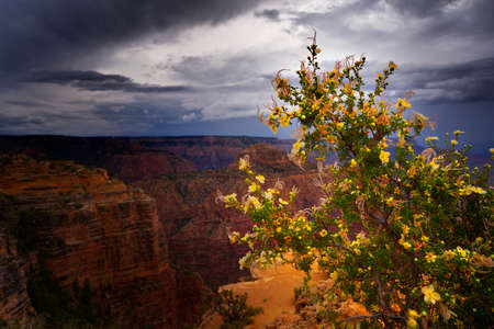 Cliffrose (Purshia) in full bloom on the south rim of the Grand Canyon.  A thunderstorm approaches in the background.