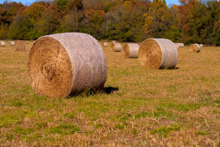 Round hay bales in the late afternoon sun in southwest Missouri with autumn colors in the background. 版權商用圖片