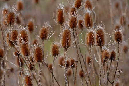 Autumn wildflower, Wild teasel Dipsacus Fullonum with blurred natural background. A cultivated variety Fuller's teasel was used historically in the manufacture of cloth, particularly wool. Banco de Imagens