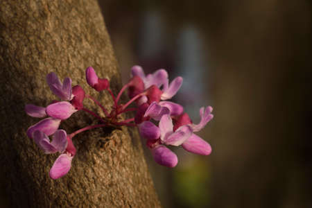 Eastern redbud (Cercis canadensis) closeup of a bloom cluster in the warm afternoon sun.