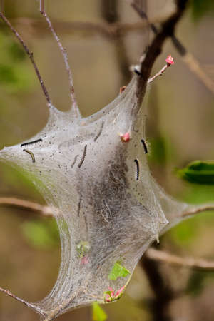 Tent caterpillar or web worms (Malacosoma americanum) in a young tree in the forest.