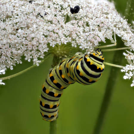 Caterpillar of the swallowtail butterfly (Papilio machaon) feeding on Queen Anne's lace (Daucus carota) usually considered a weed.