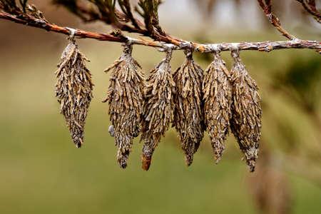 Bagworm. Cocoons of the Evergreen Bagworm moth (Thyridopteryx ephemeraeformis of the Psychidae family) on a branch of eastern red cedar (Juniperus virginiana)