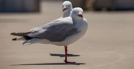 Two seagulls standing on concrete and looking at the camera.The second seagull is in soft focus in the background Stock Photo