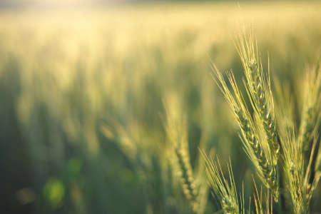 wheat harvest: Lentamente il sole riscalda le spighe di grano