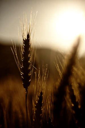 Sunset over wheat field is creating a nice silouhette Standard-Bild