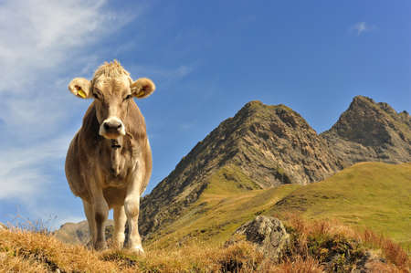 Cow at the feet of the mountains in Switzerland photo