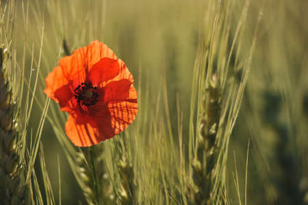 intact: Lonely poppy grew up in a wheat in a sunny summer