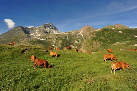Cows in mountain in the summer period over the Mont Cenis (France) photo