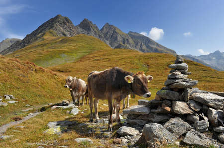 Cow at the feet of the alpine mountains photo