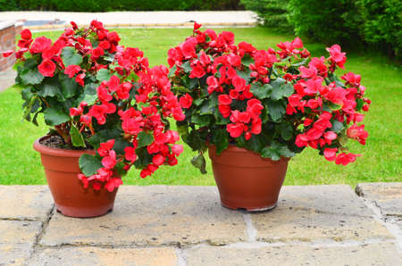 planters: Colorful planters on the patio Betulia begonia
