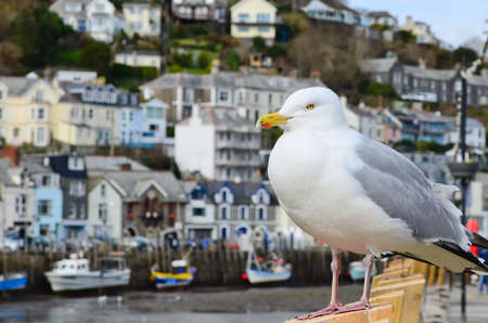 Seagull in the fishing town of Looe Cornwall England