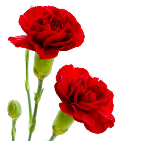 Two red carnation flowers isolated on white