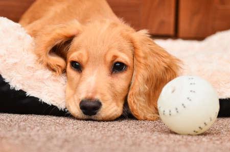 cocker spaniel: Cocker spaniel puppy