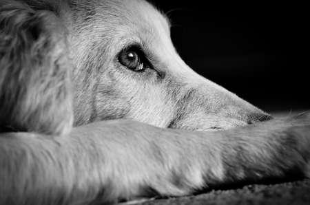 perro asustado: Cocker spaniel cachorro mirando muy triste