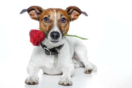 paw smart: dog with a red rose  Stock Photo
