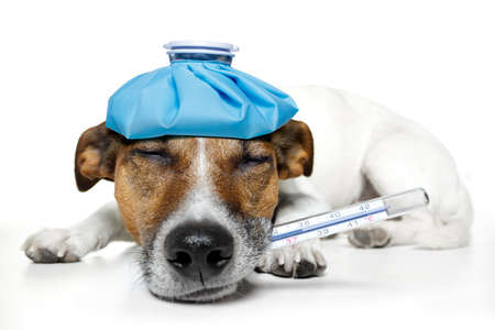 dog feeling sick Stock Photo - 11993910