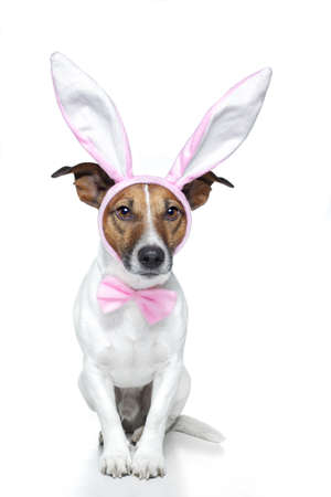 bunny ears: dog dressed as a easter bunny Stock Photo